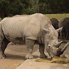 White Rhino by coffeebean