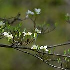 Dogwood Blossoms I by karineverhart