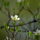 Dogwood Blossoms II by karineverhart