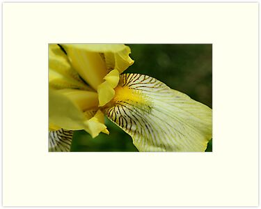 Yellow Iris II by karineverhart