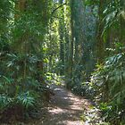 Rainforest Track, Dorrigo National Park, NSW by Adrian Paul