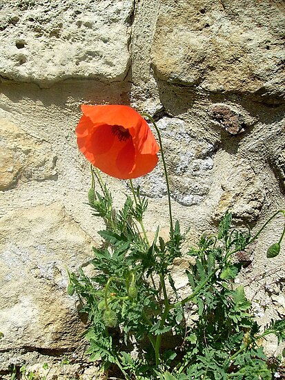 Red Poppy by Ana Belaj