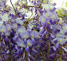 Beautiful Wisteria by James Brotherton