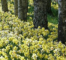 Spring Daffodils by Jennifer J Watson