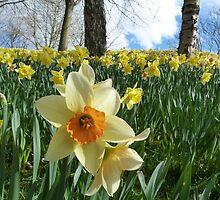 Daffodil Sky by Jennifer J Watson