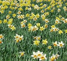 A host of golden daffodils by Jennifer J Watson