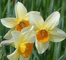Daffodil Closeup by Jennifer J Watson