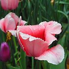 Pittsburgh, PA: Raindrops on Tulips 1 by ACImaging