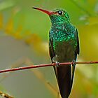 Canivet&#x27;s Emerald Hummingbird by Linda Sparks