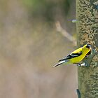 Goldfinch by KathleenRinker