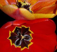 pretty tulip pair by dedmanshootn