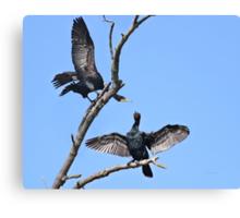 Courting cormorants Canvas Print