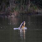 carp jumping by murch22