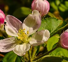 Apple blossom by Nicole W.