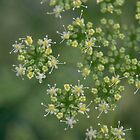 Parsley flowers by Morag Anderson