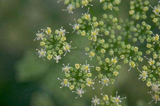 Parsley flowers by Morag Anderson