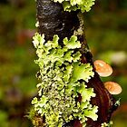 Lichen and Fungi - Cradle Mountain NP by pennyswork