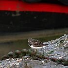 Summer Sanderling by mpstone