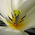 Beauty So Fair - Tulip Macro by BlueMoonRose