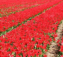 Tulip fields 3 by Jasna