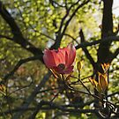 Solitary Pink Dogwood by Margie Avellino