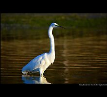 Ardea Alba - Great White Egret In Porpoise Channel - Stony Brook, New York by © Sophie W. Smith