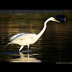Ardea Alba - Great White Egret Looking For Fish In Porpoise Channel - Stony Brook, New York by  Sophie Smith