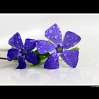 Vinca Minor - Lesser Periwinkle by  Sophie Smith