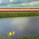 Tulip fields 4 by Jasna