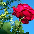 Beautiful Red Rose  by Morgana Horn