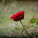 Single Rose by Ginger  Barritt