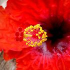 Red hibiscus by artsieaspie