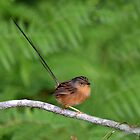Southern Emu Wren (Female)_Cattai Wetlands - Best viewed Large. by Alwyn Simple
