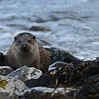 Scottish Sea Otter by Jonathan Goddard