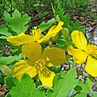 Celandine Poppy or Wood Poppy - Stylophorum diphyllum by MotherNature