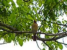 Female Cardinal by Susan S. Kline