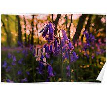 Sunset Bluebells Poster