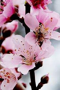 Peach Buds and the Bee
