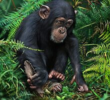 YOUNG CHIMPANZEE WITH TOOL by owen bell