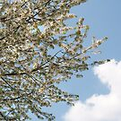 Blossom and Blue Sky by Richard Flint