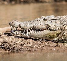 Saltwater crocodile (Crocodylus porosus) by Colin White