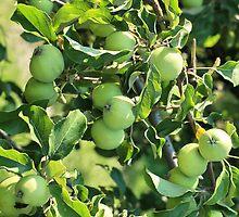 Apples on a branch by mrivserg