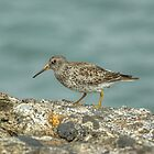 Purple Sandpiper by Jamie  Green
