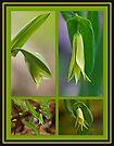 Perfoliate Bellwort Wildflower - Uvularia perfoliata - Straw Lily by MotherNature