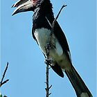 MALE TRUMPETER HORNBILL - Bycanistes bucinater - Gewone boskraai by Magaret Meintjes