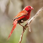 Crimson finch (Neochmia phaeton) by Colin White