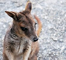 Rock Wallaby by Emily McAuliffe
