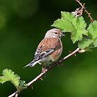 Linnet - 2 by Peter Wiggerman