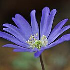 Anemone Blanda by Astrid Ewing Photography
