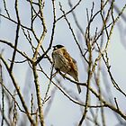 Reed Bunting (Singing Male) by Jamie  Green